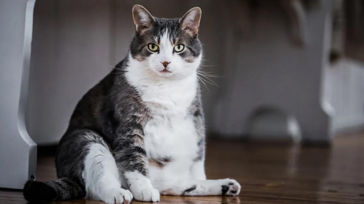 Gatos con sobrepeso