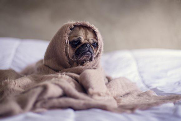 5 remedios naturales para aliviar el resfrío de tu perrito