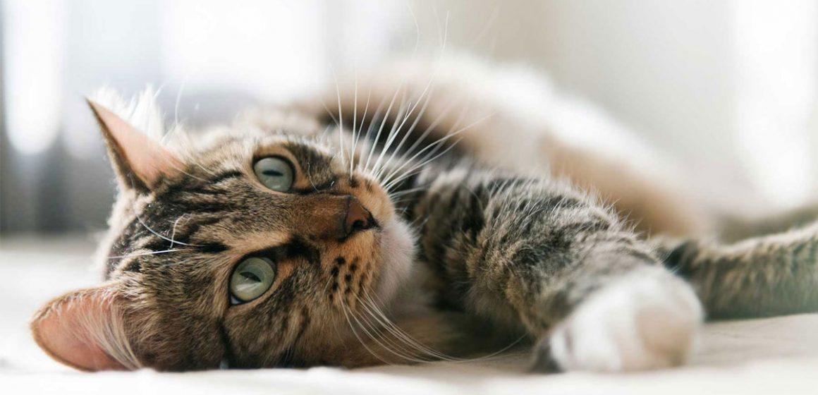 ¿Tu gato tiene las pupilas muy dilatadas y no sabes por qué?