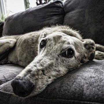 Guía completa de cuidados de un perro anciano