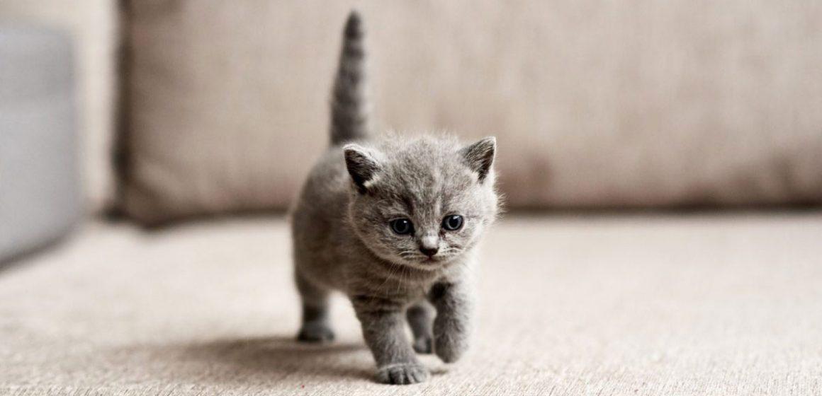 ¿Cómo prepararse para tener un familiar felino?