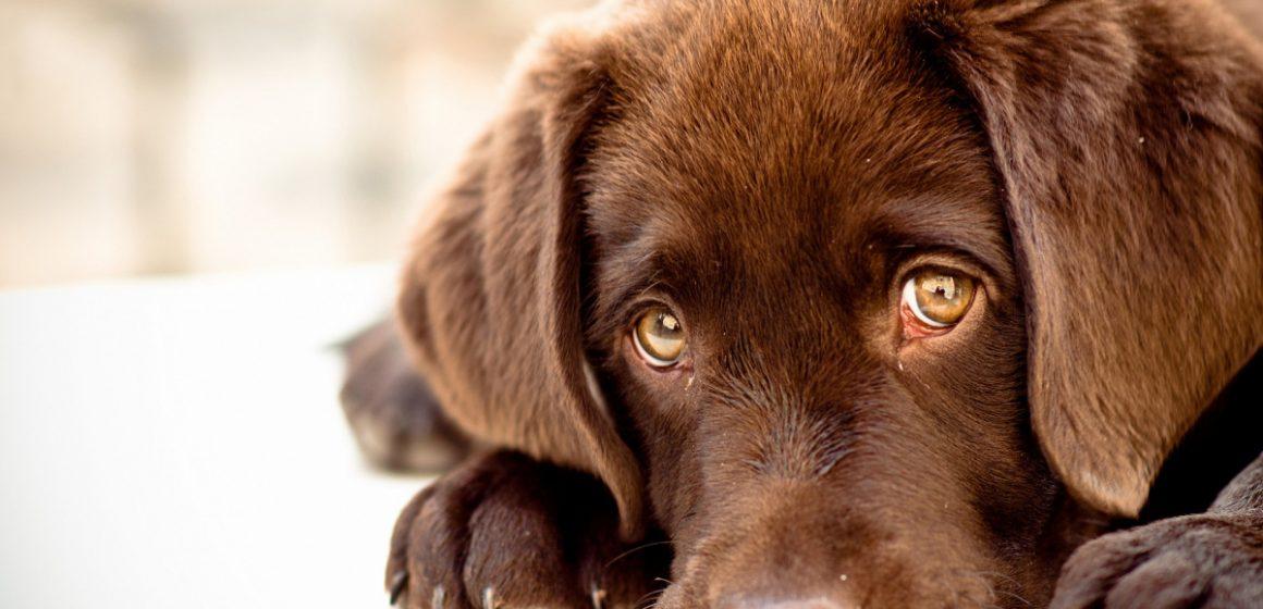 La mirada del perro ha evolucionado para comunicarse con las personas