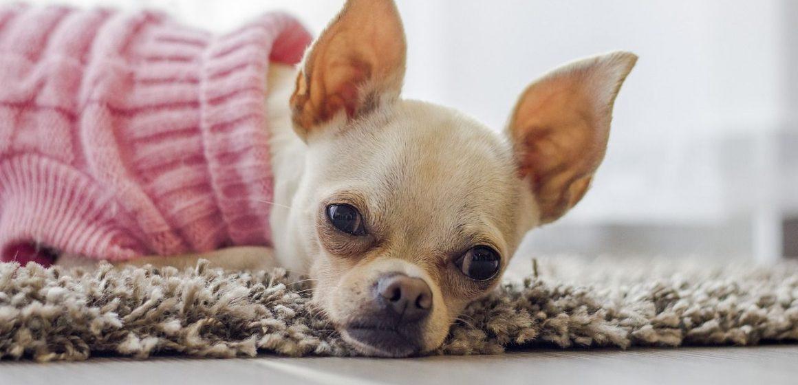 ¿Necesitan los perros usar ropa?