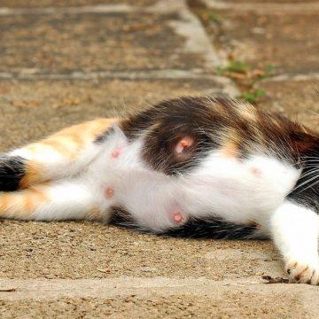 Cómo saber si tu gata está preñada