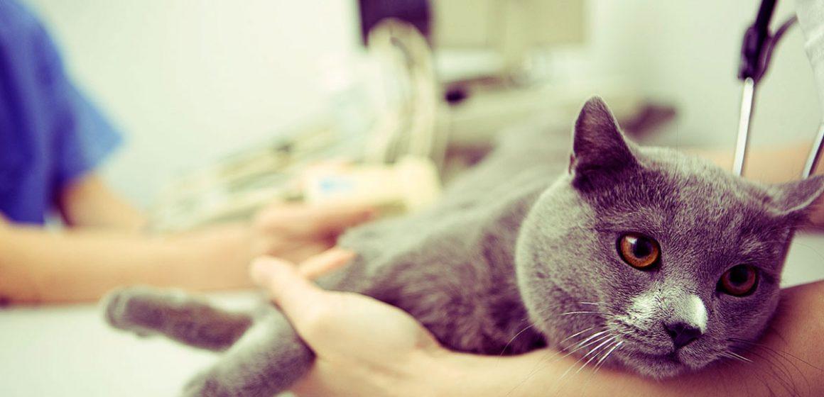 Cálculos urinarios en gatos y cómo prevenirlos