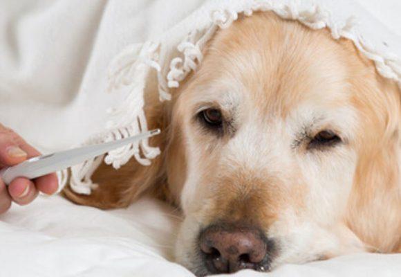 La temperatura corporal de un perro