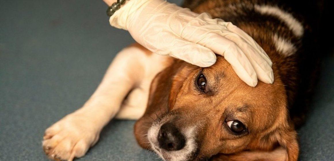 Misteriosa enfermedad continúa matando a decenas de perros en Noruega