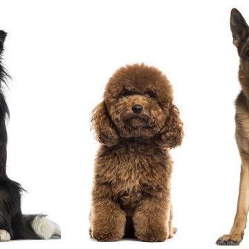 Los perros mestizos son más sanos que los de raza: ¿verdad o mito?