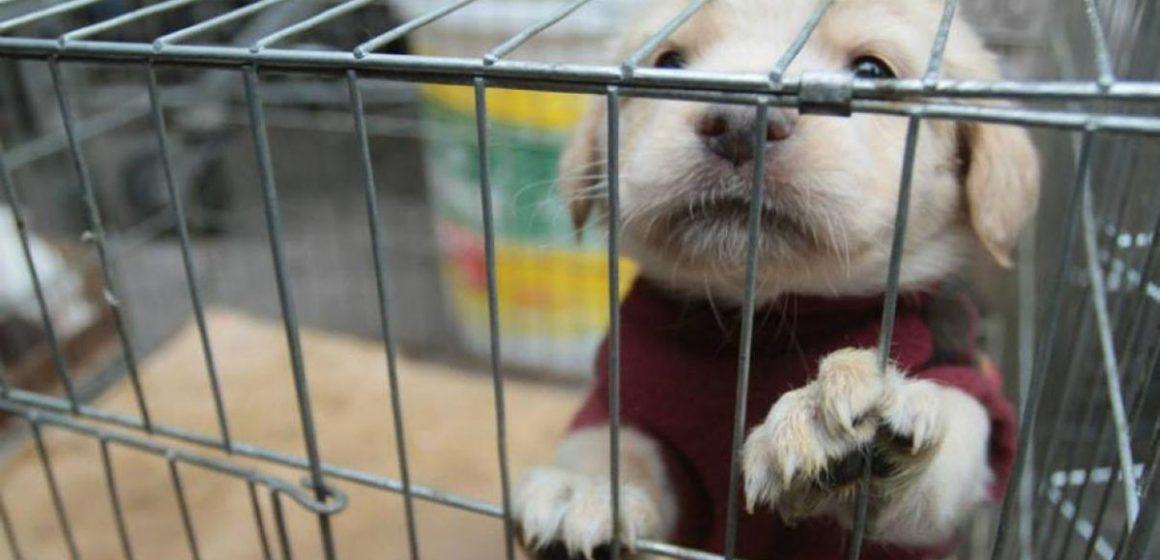 Penoso: venta ilegal de perros es popular en Europa