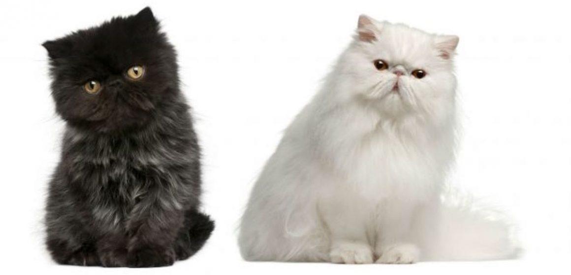 Dos tercios de gatos persas sufren problemas de salud