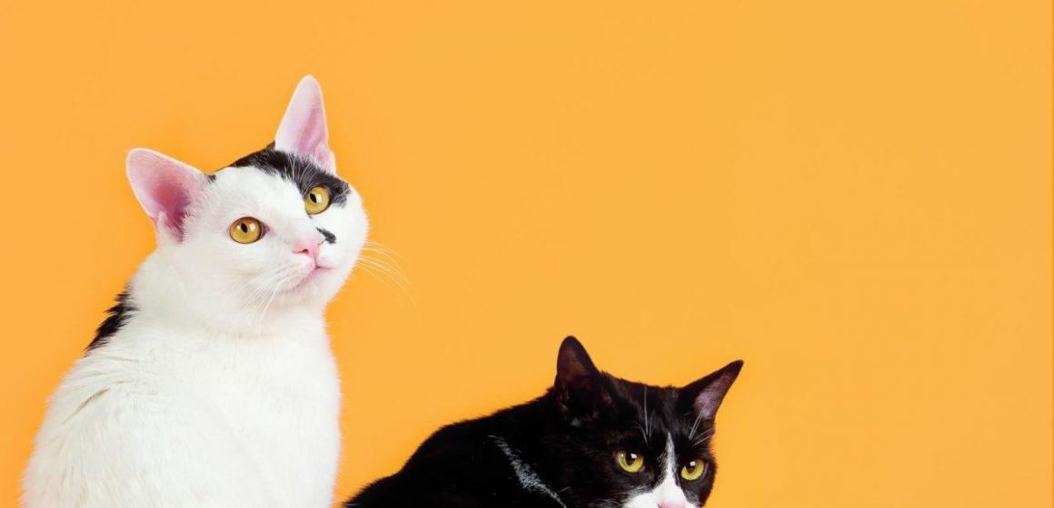 Protege a tu gato de la leucemia y el sida felino