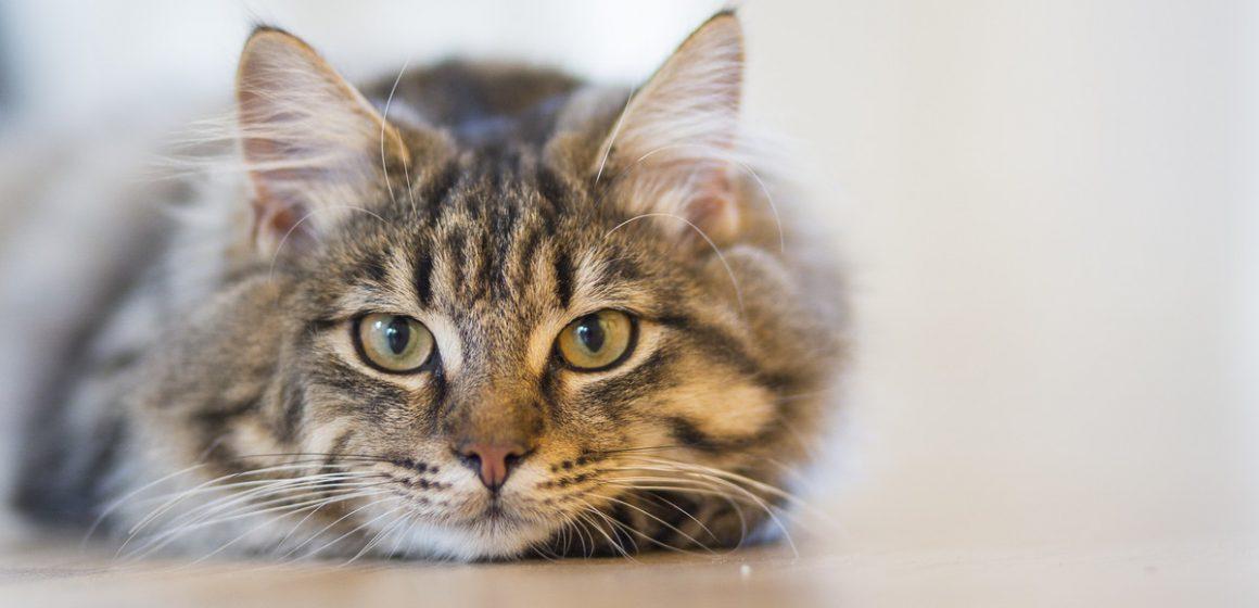 Los gatos alcanzan su peso ideal en la mitad de su vida