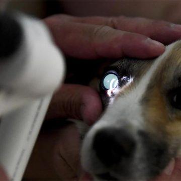 Señales  para saber si tu perro tiene cataratas