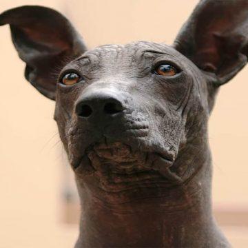 Perro peruano sin pelo: patrimonio cultural
