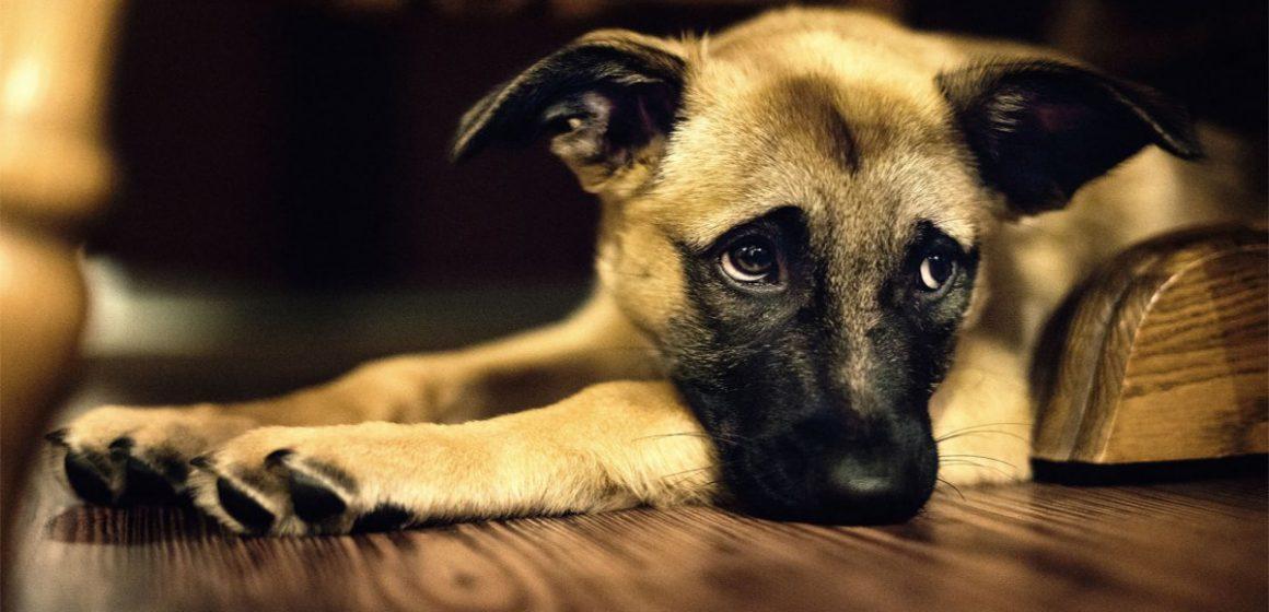 El gemido de un perro es tan triste como el llanto de un bebé