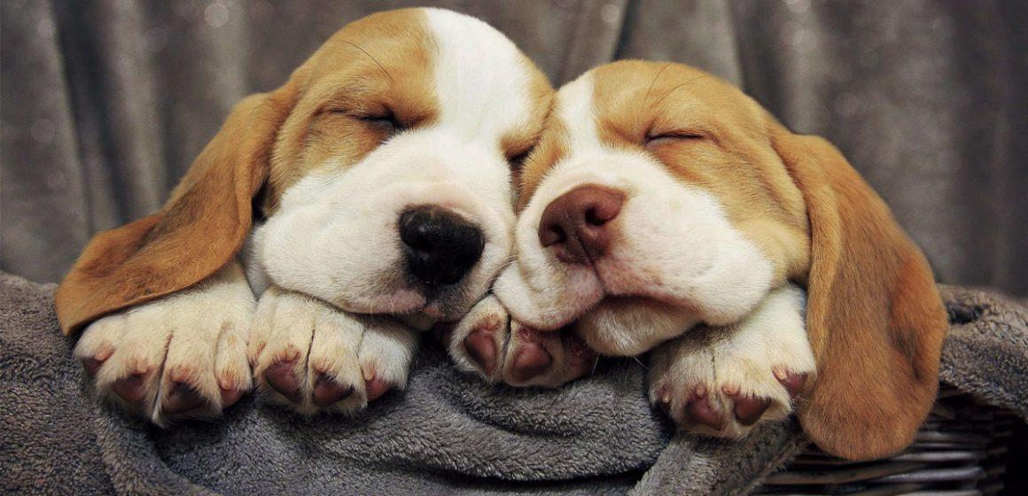 Los perros tambiénpueden soñar: ¿Es cierto?