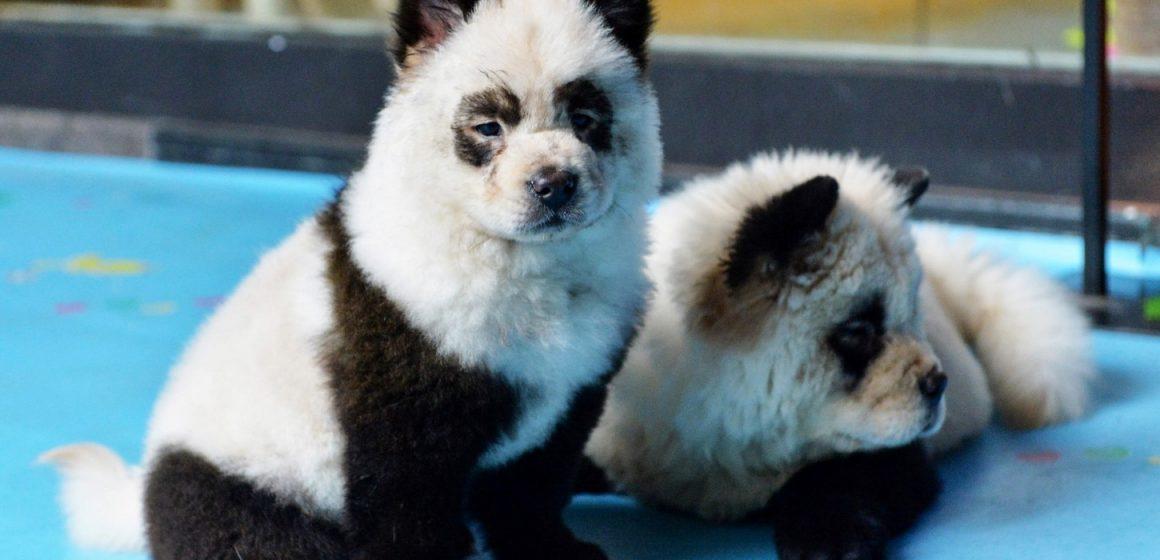 China pinta perros para que parezcan pandas