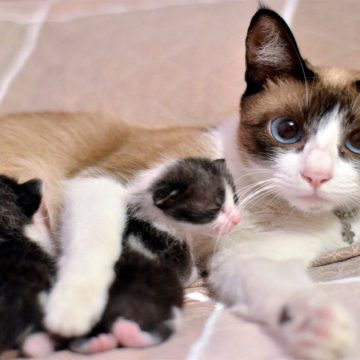 ¿Por qué las gatas trasladan a sus crías?