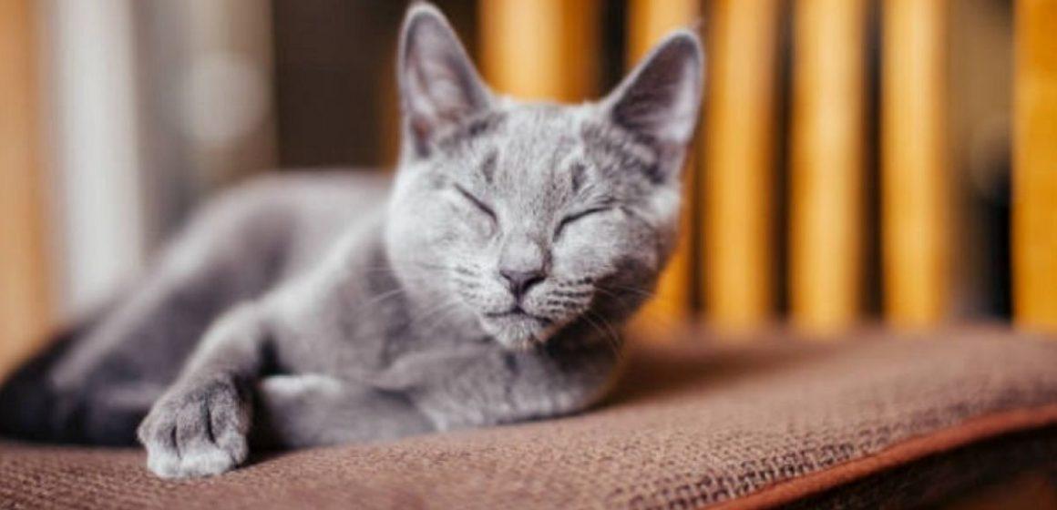 Gato terminó internado tras aparearse con 5 hembras