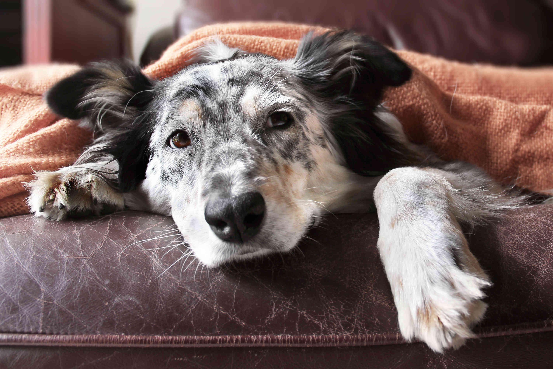Causas comunes de intoxicación en perros