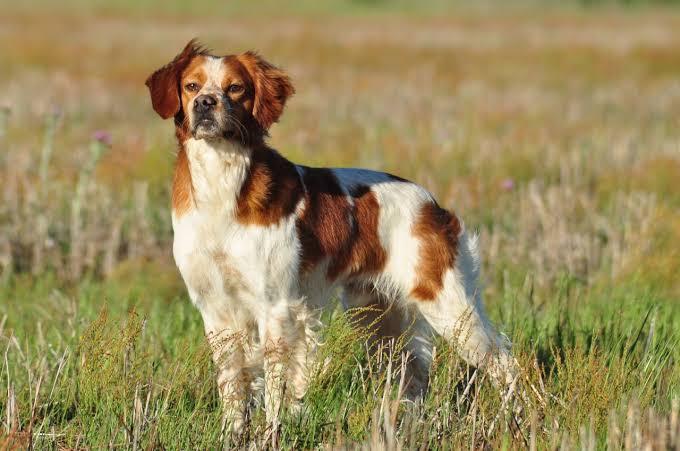 5 raza de perros con mancha