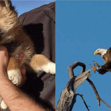 Extraordinario: un Dingo sobrevive a un águila