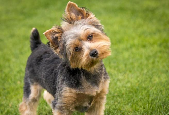 Razón por la cual los perros mueven la cabeza