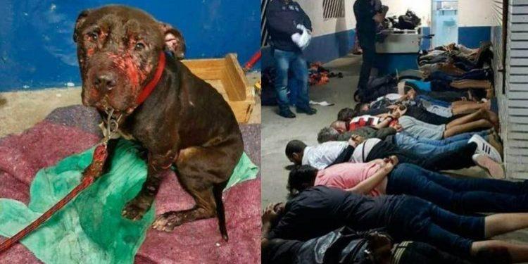 Red de peleas de perros fue desarticulada en Brasil