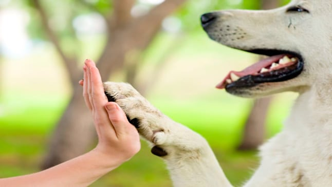 Esta conducta también puede estar asociada a la petición de atención o comida en un perro que sin embargo aun así es una muestra de cariño.