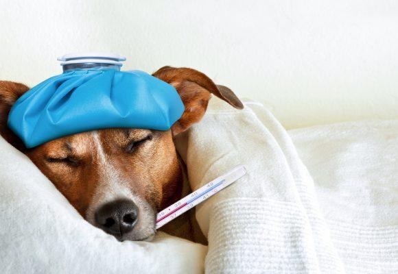 8 enfermedades más comunes en nuestros perros