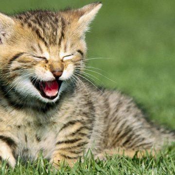 6 razas de gatos juguetones que todo amante de los animales querrá tener