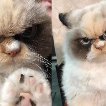 Meow Meow, la gata gruñona que luce más amargada que su antecesor