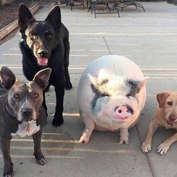 Crían a cerdo con cinco perros y ahora su conducta es como la de uno de estos