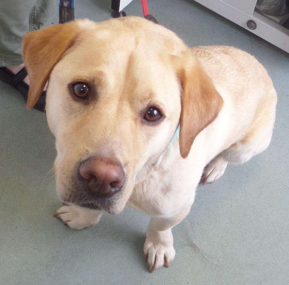 Conoce a Stumpy, el perro que ha salvado más de 100 vidas al donar su sangre