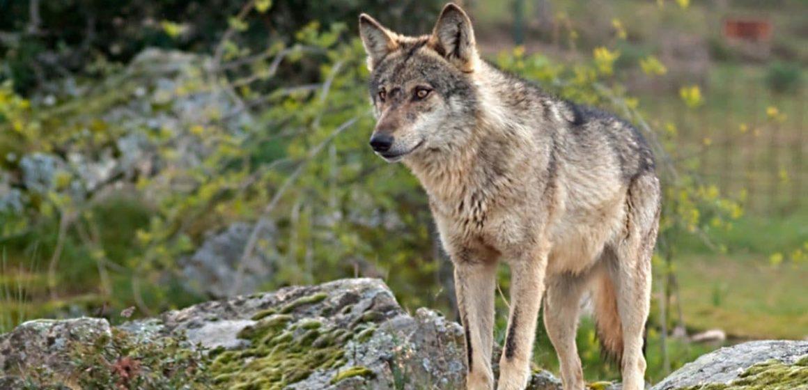 Hombre crió a un lobo creyéndolo perro en España