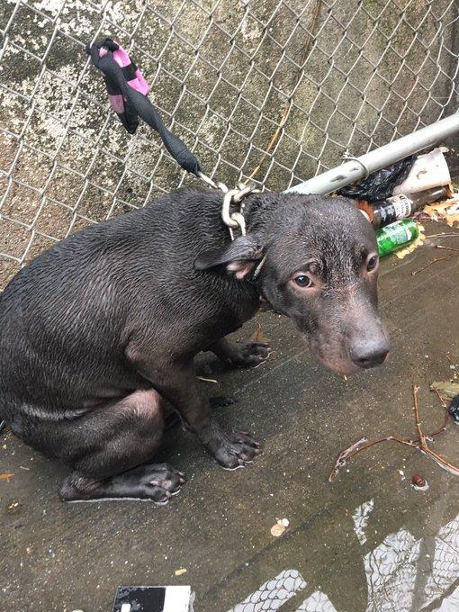 Policía decide adoptar a un pitbull que él mismo rescató de las heladas lluvias
