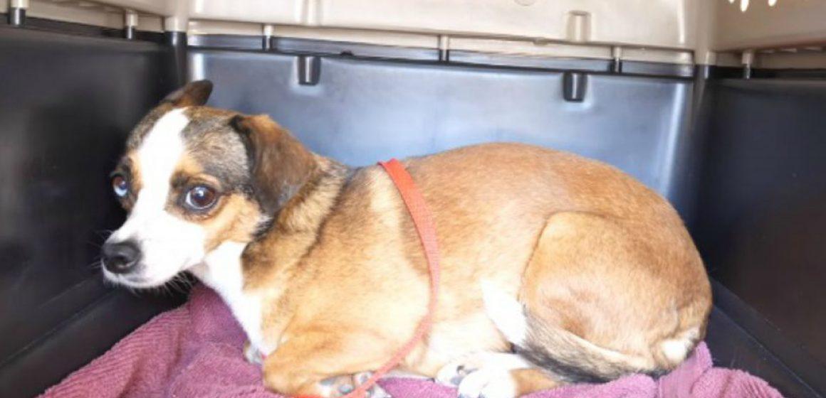 Perro sin hogar no dejó de temblar tras ser rescatado: jamás en su vida había movido su cola