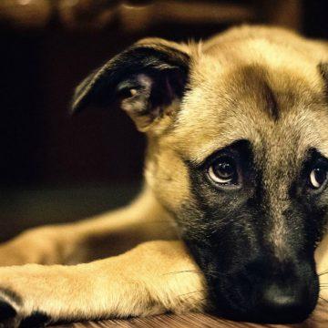Covid-19: buscan personas para acoger a perros de dueños afectados por el coronavirus