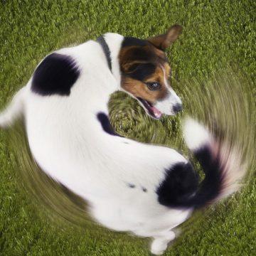 ¿Por qué los perros se persiguen la cola?
