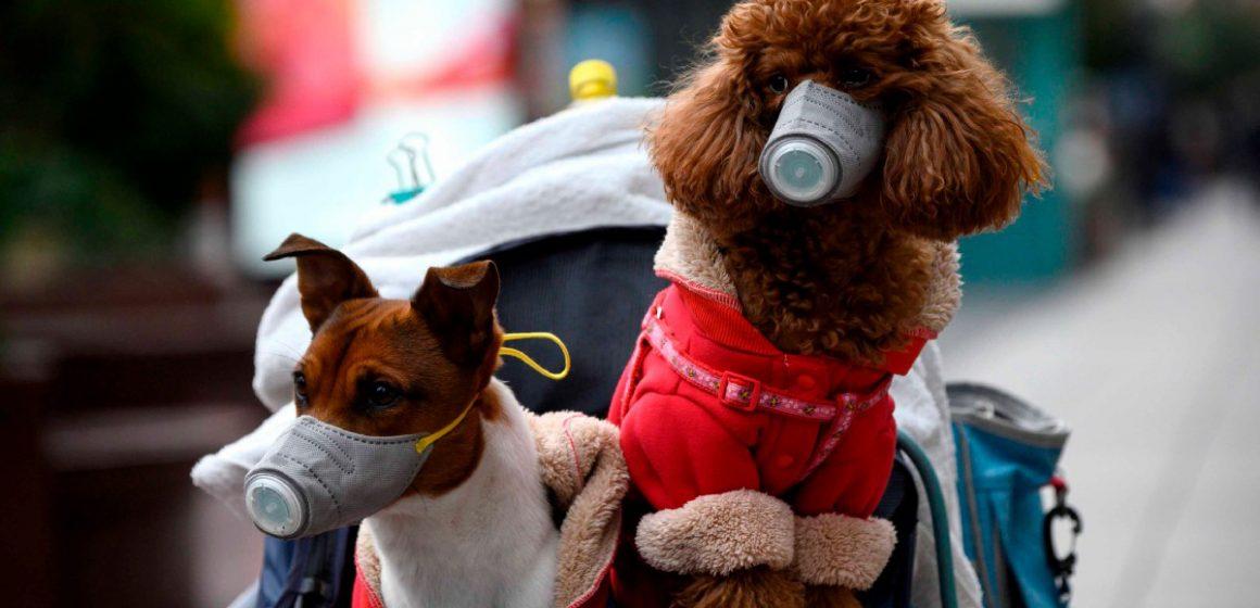 Mascota que dio positivo por coronavirusen Hong Kong falleció