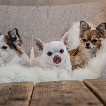 Razas de perro ideales para personas ocupadas: ¿cuáles son?