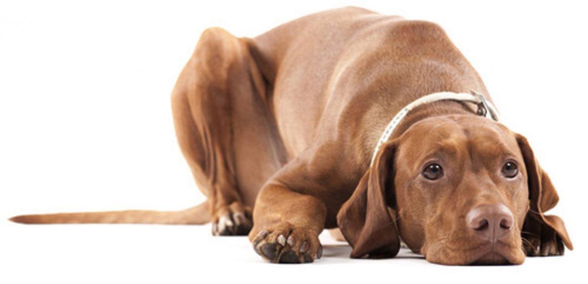 La criptorquidea en perros: una alteración sexual