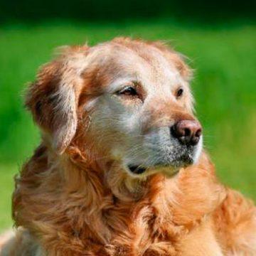 ¿Cómo debo alimentar a un perro anciano?