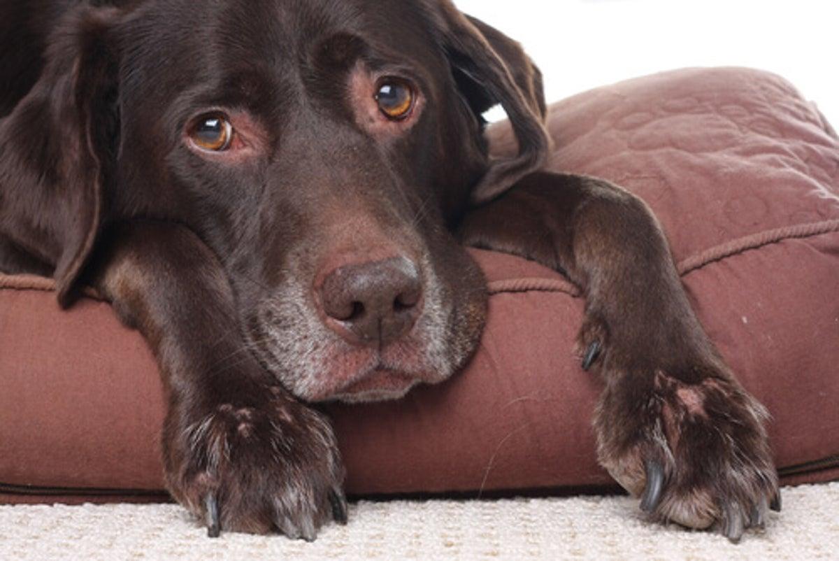 ¿Son los perros propensos a sufrir de dolores de cabeza?