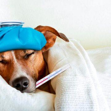 Perro resfriado: ¿cómo actuar en esta situación?