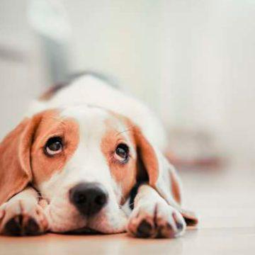 COVID-19: consejos para cuidar a tu perro durante la cuarentena: paseos, desinfección y más recomendaciones