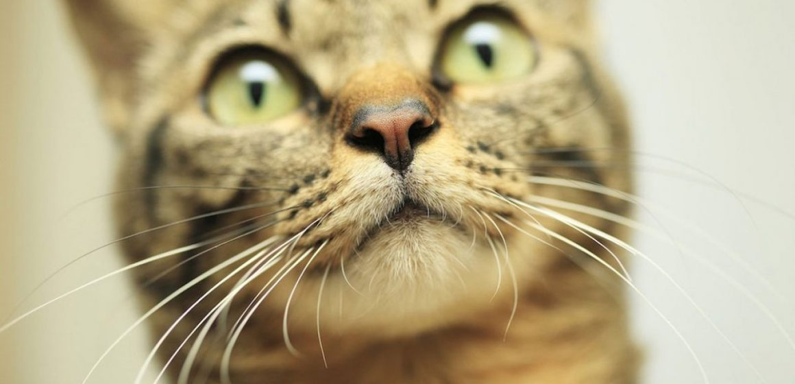 ¡No le cortes los bigotes a tu gato!