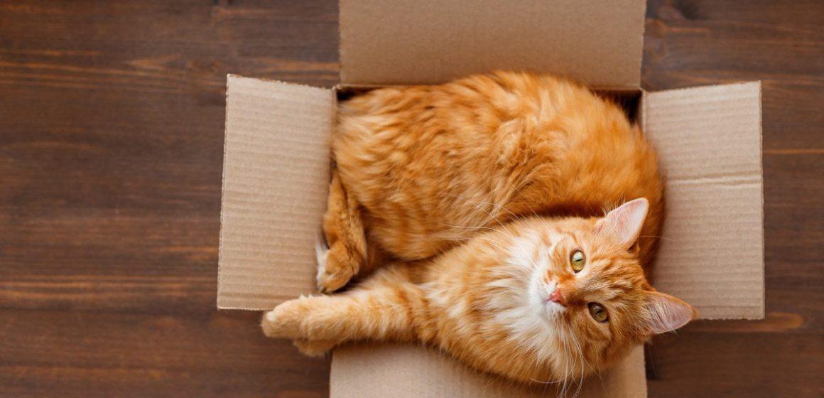 ¿Cuál es la razón por la que los gatos aman las cajas?