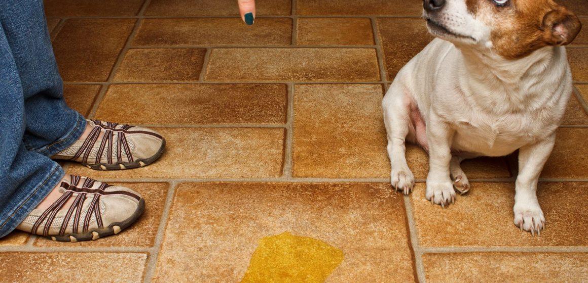 ¿Cómo enseñar a hacer sus necesidades a un perro adulto?