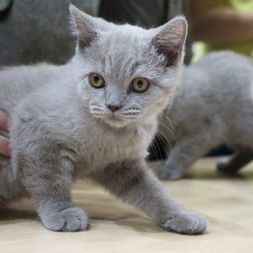 Dos gatos dieron positivo para coronavirus en Nueva York